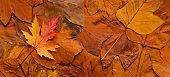 Maple colored fresh fallen leaf on autumn orange background