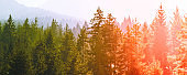 mysterious misty pine tree red green sunset forest