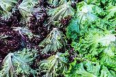 Red leaf lettuce and Batavia lettuce as background