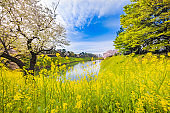 Rape blossoms and cherry blossoms in the city