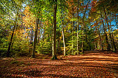 Beautiful green and gold forest in the autumn, Poland