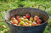 Healthy and fresh apples in sunny garden