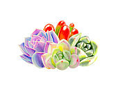 Composition from colorful succulents.  Decorative plants. Floral print. Marker drawing. Watercolor painting.