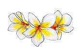 Beautiful tree white plumeria flowers. Frangipani. Watercolor painting.