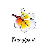 Beautiful white plumeria flower. Frangipani. Watercolor painting.
