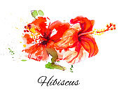 Beautiful red hibiscus flowers. Watercolor painting.