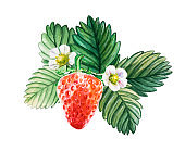 Watercolor red juicy strawberry with leaves and flower. Summer sweet fruits and berries.