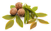 Blossom walnut and leaves.