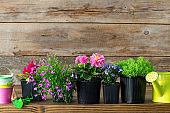 Seedlings of garden plants and beautiful flowers in flowerpots for planting on a flower bed. Garden equipment: watering can, buckets, shovel, rake, gloves on wooden background. Copy space for text.