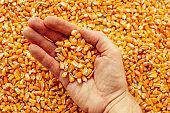 Farmer handful of harvested corn kernels