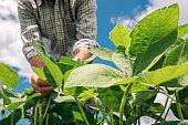 Farm worker controls development of soybean plants