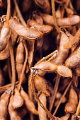 Harvested ripe soybean pods