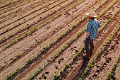 Farmer standing in cultivated soybean field