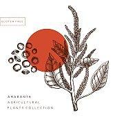 Vector Amaranth illustration.