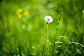 White fluffy dandelion on a background of green grass in summer. It can be used as a background