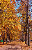 Beautiful alley of golden maple trees in sunny autumn