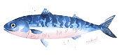 Atlantic mackerel watercolor fish