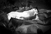 Two white horses among black horses