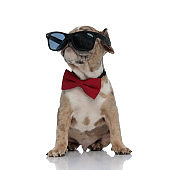 American bully puppy wearing bowtie and sunglasses sitting