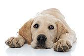 sad little labrador retriever puppy dog lying head between paws