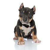 Tough American Bully puppy looking forward and frowning
