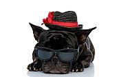 humble French bulldog with hat and sunglasses laying down