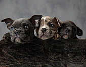 three adorable american bully puppies in a wooden box
