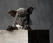adorable american bully puppy  in  box and wearing bowtie