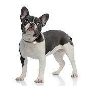 french bulldog puppy with red dog collar looking away