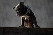 american bully puppy dog standing on top of  wooden box