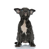 cute american bully looking up and sitting on white background