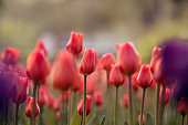 Blooming scarlet tulips with buds growing in the garden.