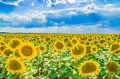 beautiful field of yellow sunflowers against the blue sky