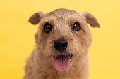 Norfolk Terrier dog against yellow background.