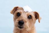 Bathing Norfolk Terrier dog against blue background