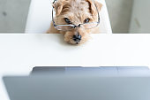 Norfolk Terrier dog woking with laptop at office