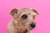 Norfolk Terrier dog against pink background