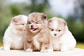 Pomeranian puppy outdoor