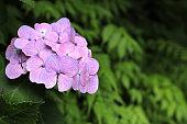 hydrangea in Kamakura, Kanagawa, Japan (one red-purple flower)