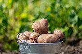 Potatoes in metal bucket at the vegetable garden