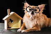 brown chihuahua dog glasses with house model with lamp bulb black background