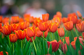 close up of tulips, nature flower concept
