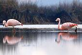 Chilean flamingos (Phoenicopterus chilensis) on lagoon