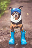 Very cute puppy, a dog in a hat and rubber boots is standing in a puddle and looking at the camera. Theme of rain and autumn