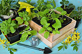 Young green sprouts in wooden pots and boxes with little shovel on table.