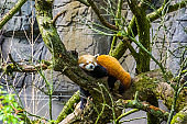 closeup of a red panda laying in a tree, Endangered animal specie from Asia