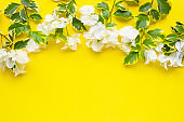 Beautiful white bougainvillea flower with green yellow leaves on yellow background.
