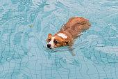 Corgi dog playing in the pool