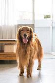 Cute golden retriever, indoor shot