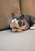 British shorthair cat lying on the couch